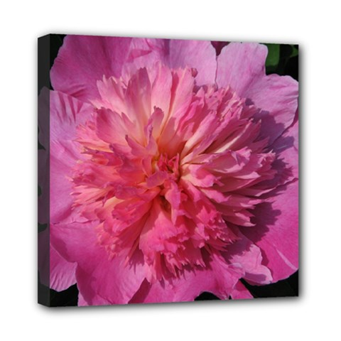 Paeonia Coral Mini Canvas 8  X 8