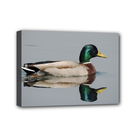 Wild Duck Swimming In Lake Mini Canvas 7  X 5
