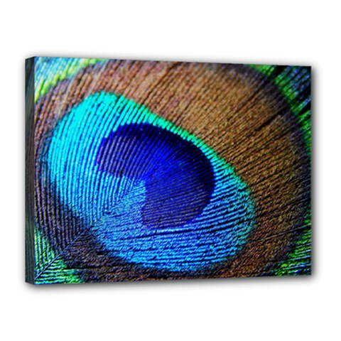 Blue Peacock Canvas 16  X 12