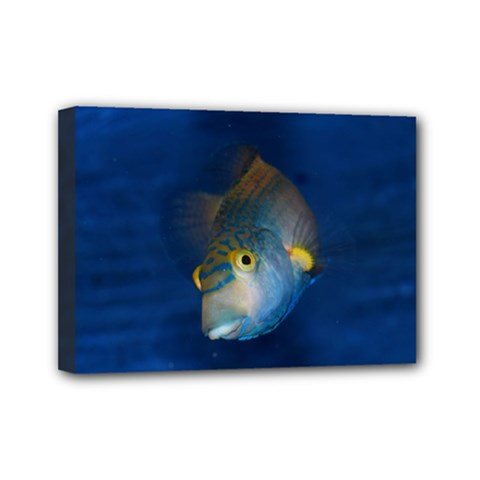 Fish Blue Animal Water Nature Mini Canvas 7  X 5  by Amaryn4rt