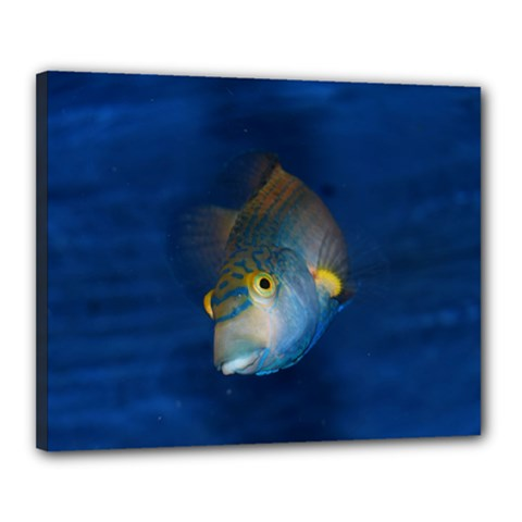 Fish Blue Animal Water Nature Canvas 20  X 16