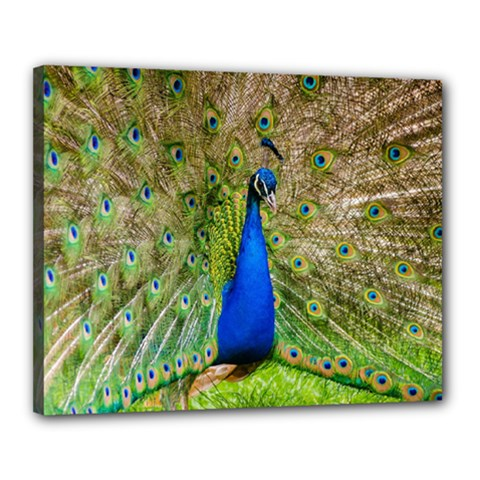 Peacock Animal Photography Beautiful Canvas 20  X 16