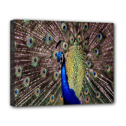 Multi Colored Peacock Deluxe Canvas 20  X 16   by Simbadda