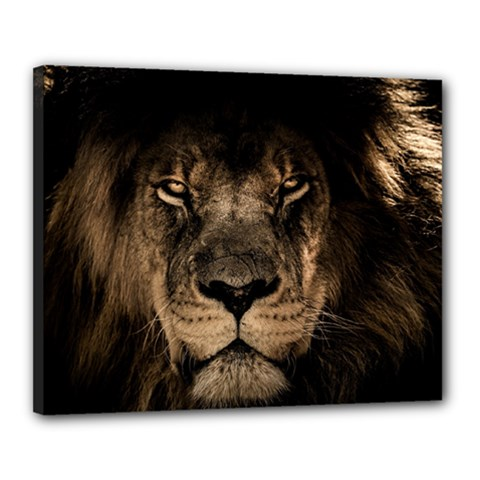 African Lion Mane Close Eyes Canvas 20  X 16