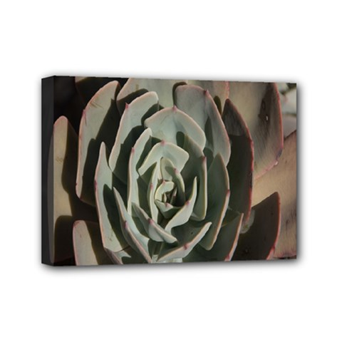 Succulent Green Pink Rosettes Mini Canvas 7  X 5  by Sapixe