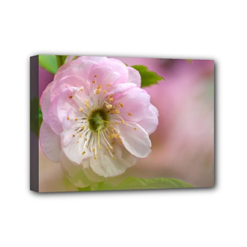 Single Almond Flower Mini Canvas 7  X 5  by FunnyCow