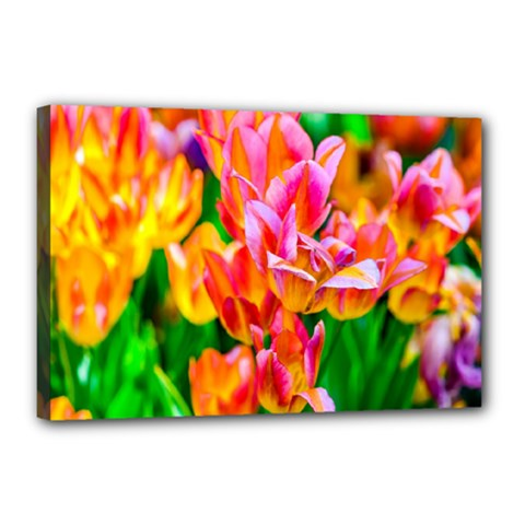 Blushing Tulip Flowers Canvas 18  X 12  (stretched)