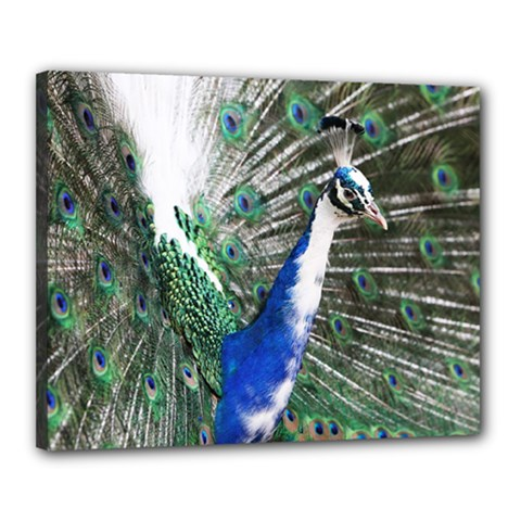 Animal Photography Peacock Bird Canvas 20  X 16  (stretched)