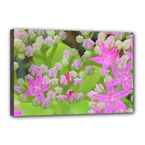 Hot Pink Succulent Sedum With Fleshy Green Leaves Canvas 18  X 12  (stretched) by myrubiogarden