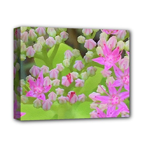 Hot Pink Succulent Sedum With Fleshy Green Leaves Deluxe Canvas 14  X 11  (stretched) by myrubiogarden