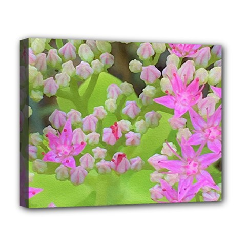 Hot Pink Succulent Sedum With Fleshy Green Leaves Deluxe Canvas 20  X 16  (stretched) by myrubiogarden