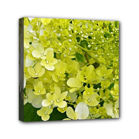 Elegant Chartreuse Green Limelight Hydrangea Macro Mini Canvas 6  X 6  (stretched)