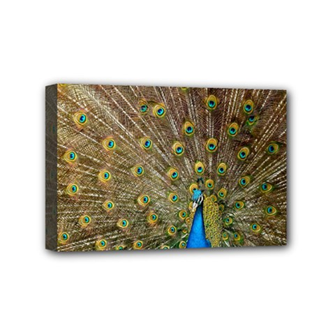 Peacock Plumage Bird Peafowl Mini Canvas 6  X 4  (stretched)