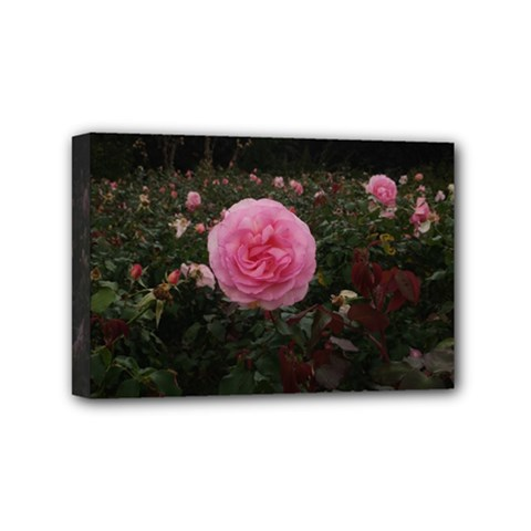 Pink Rose Field Ii Mini Canvas 6  X 4  (stretched)