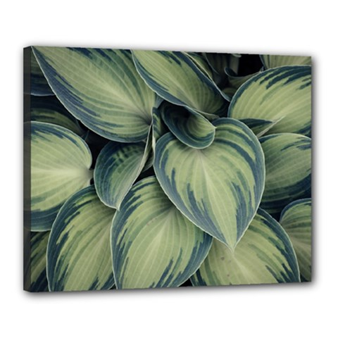 Closeup Photo Of Green Variegated Leaf Plants Canvas 20  X 16  (stretched) by Pakrebo
