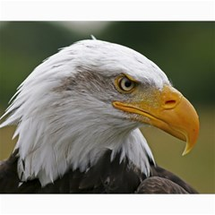 Bald Eagle (2) Canvas 16  X 20  (unframed) by smokeart