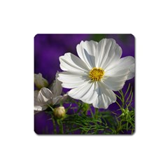 Cosmea   Magnet (square) by Siebenhuehner
