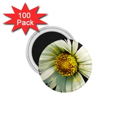 Daisy 1 75  Button Magnet (100 Pack) by Siebenhuehner