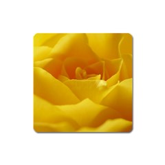 Yellow Rose Magnet (square) by Siebenhuehner