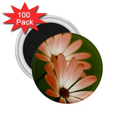 Osterspermum 2 25  Button Magnet (100 Pack) by Siebenhuehner