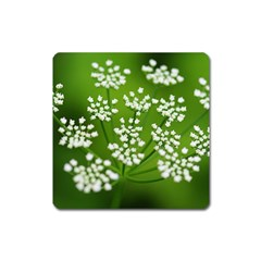 Queen Anne s Lace Magnet (square) by Siebenhuehner
