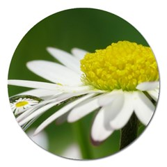 Daisy With Drops Magnet 5  (round) by Siebenhuehner