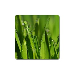 Grass Drops Magnet (square) by Siebenhuehner