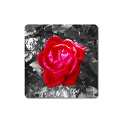 Red Rose Magnet (square)