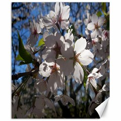 Cherry Blossoms Canvas 8  X 10  (unframed) by DmitrysTravels