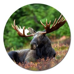 Majestic Moose Magnet 5  (round) by StuffOrSomething