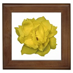 Isolated Yellow Rose Photo Framed Tiles