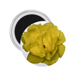 Isolated Yellow Rose Photo 2 25  Magnets by dflcprints