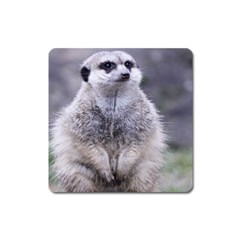 Adorable Meerkat 03 Square Magnet by ImpressiveMoments