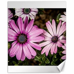 Beautiful Colourful African Daisies  Canvas 16  X 20