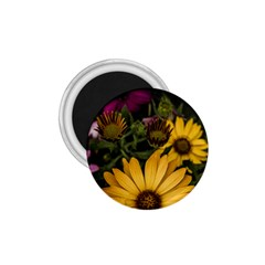 Beautiful Colourful African Daisies  1 75  Magnets by OZMedia