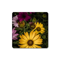 Beautiful Colourful African Daisies  Square Magnet by OZMedia