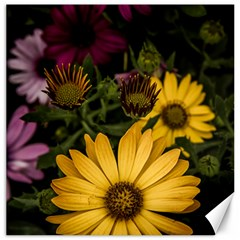 Beautiful Colourful African Daisies  Canvas 12  X 12   by OZMedia