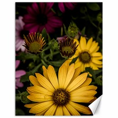 Beautiful Colourful African Daisies  Canvas 18  X 24   by OZMedia