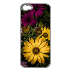 Beautiful Colourful African Daisies  Apple Iphone 5 Case (silver) by OZMedia