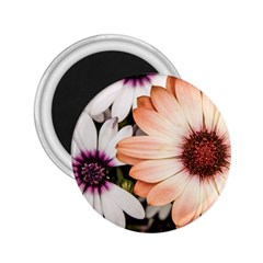Beautiful Colourful African Daisies 2 25  Magnets