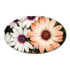 Beautiful Colourful African Daisies Oval Magnet by OZMedia