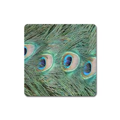 Peacock Feathers Macro Square Magnet by GiftsbyNature