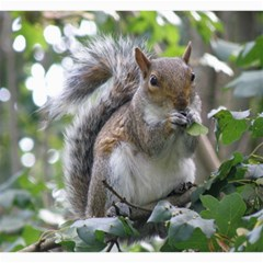 Gray Squirrel Eating Sycamore Seed Canvas 20  X 20   by GiftsbyNature