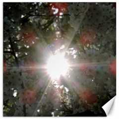 Sun Rays Through White Cherry Blossoms Canvas 12  X 12   by picsaspassion