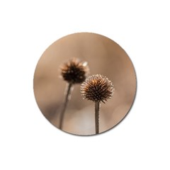 Withered Globe Thistle In Autumn Macro Magnet 3  (round) by wsfcow
