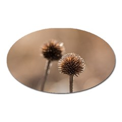 Withered Globe Thistle In Autumn Macro Oval Magnet by wsfcow