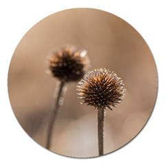 Withered Globe Thistle In Autumn Macro Magnet 5  (round) by wsfcow