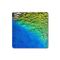 Blue Peacock Feathers Square Magnet by AnjaniArt