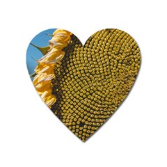Sunflower Bright Close Up Color Disk Florets Heart Magnet by Amaryn4rt