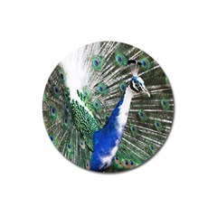 Animal Photography Peacock Bird Magnet 3  (round) by Amaryn4rt